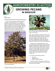 Growing Pecans in Missouri