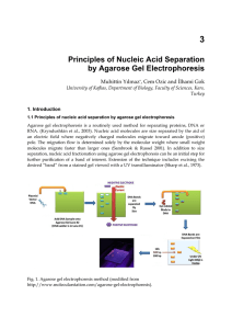 Principles of Nucleic Acid Separation by Agarose Gel Electrophoresis