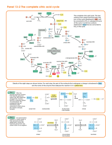 Panel 13–2 The complete citric acid cycle