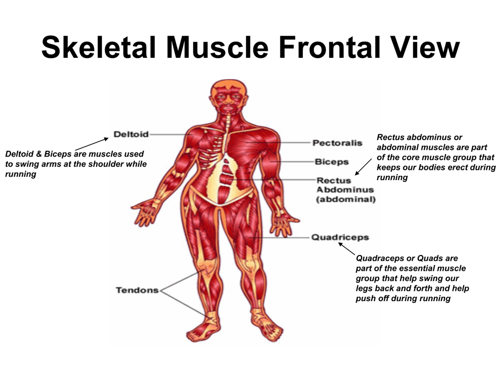 Skeletal muscle front.back view