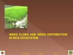 1.weed flora and weed distribution in rice