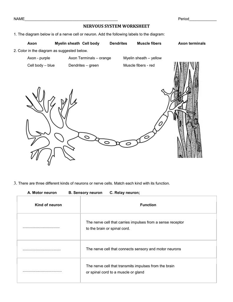 22 Label Parts Of The Brain Worksheet - Label Design Ideas 22 For Nervous System Worksheet High School