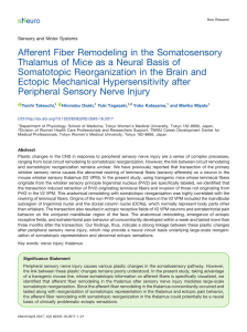 Afferent Fiber Remodeling in the Somatosensory Thalamus of Mice