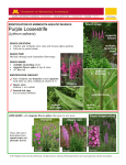 Purple Loosestrife - Extension