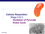 Cellular Respiration Oxidation of Pyruvate Krebs Cycle