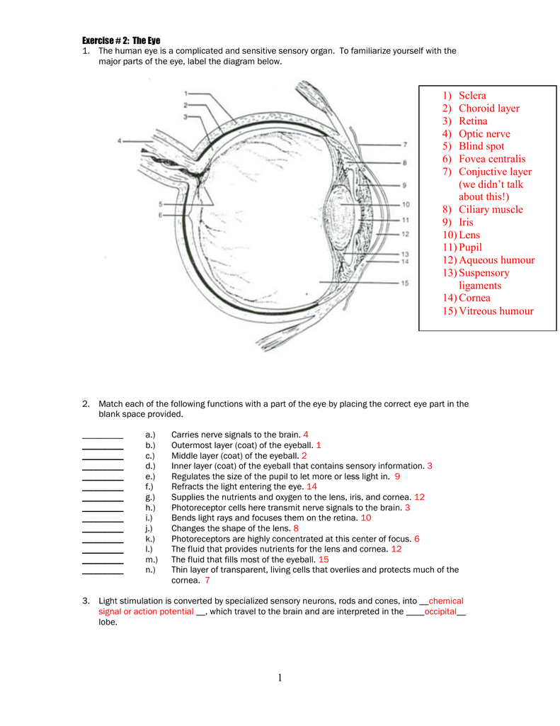 Structure And Functions Of Human Eye With Labelled Diagram Manual Guide