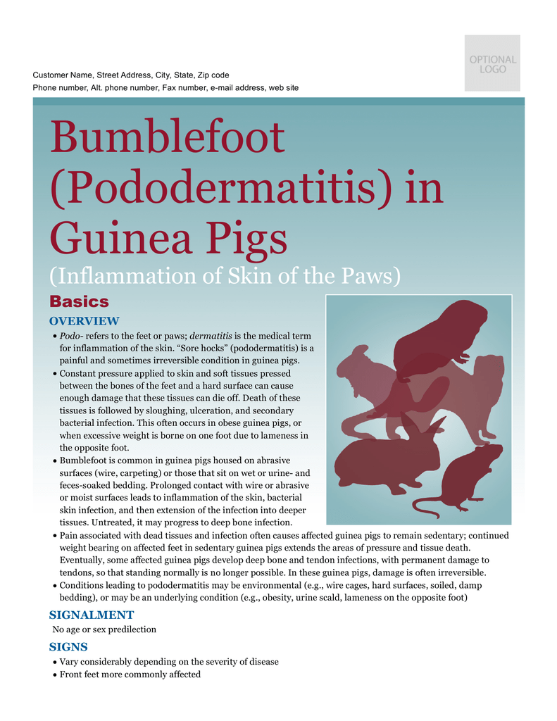 Bumblefoot (Pododermatitis) in Guinea Pigs