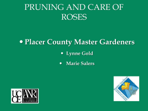 Pruning and Care of Roses - Placer County Master Gardeners