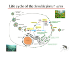 Life cycle of the Semliki forest virus