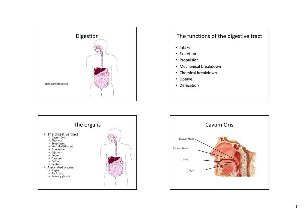 Digestion The Functions Of The Digestive Tract The Organs Cavum Oris