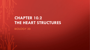 Chapter 10 The heart Structures