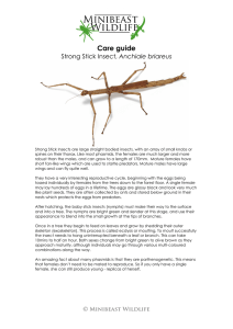 Strong Stick Insect, Anchiale briareus