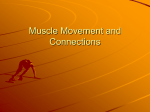Muscle Movement and Connections