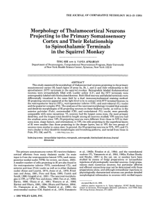 Morphology of Thalamocortical Neurons Projecting