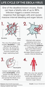 LIFE CYCLE OF THE EBOLA VIRUS