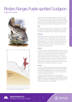 Flinders Ranges Purple-spotted Gudgeon