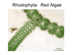Rhodophyta: Red Algae