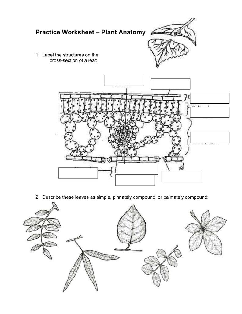 plant anatomy worksheet