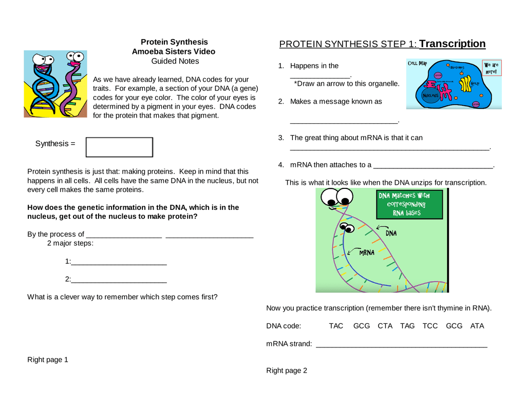 Latest Regulation: Amoeba Sisters Gene Regulation Worksheet