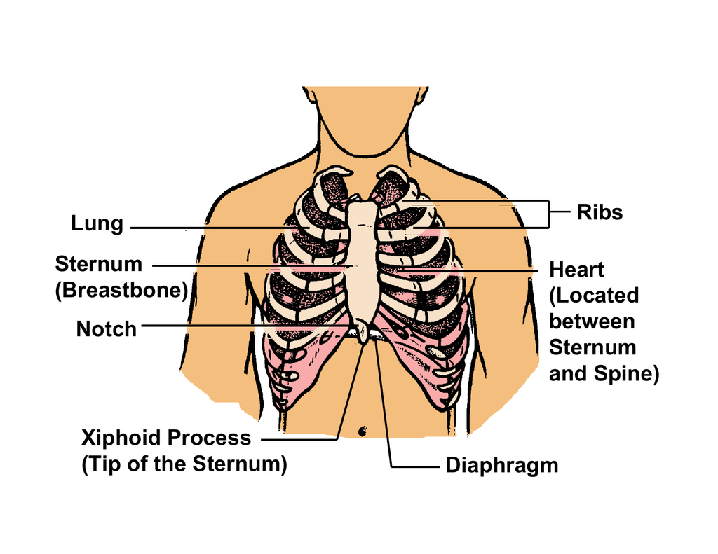 Lung Sternum Breastbone Notch Xiphoid Process Tip Of The