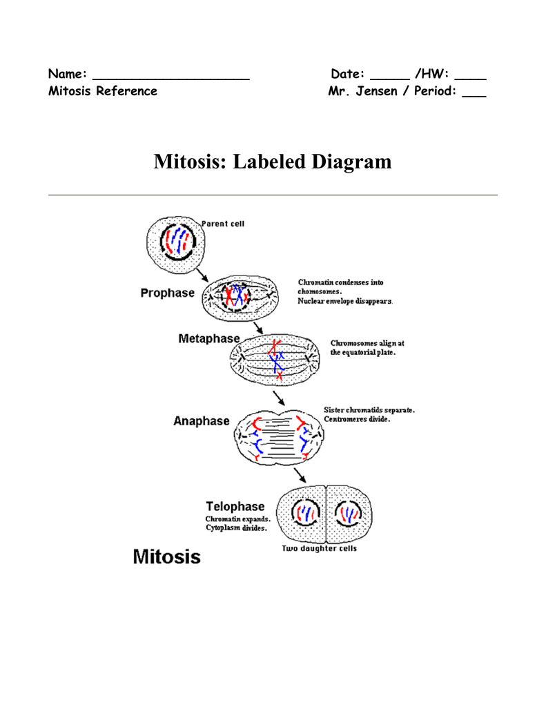 Mitosis Labeled Diagram