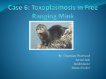 Case 6: Free Living Mink