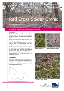 Red Cross Spider Orchid - Department of Environment, Land, Water