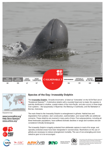 Species of the Day: Irrawaddy Dolphin