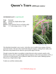 Queen`s Tears (Billbergia nutans)