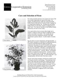 Care and Selection of Ficus - Cornell Cooperative Extension of