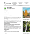 Whitespire Birch - Lurvey Landscape Supply