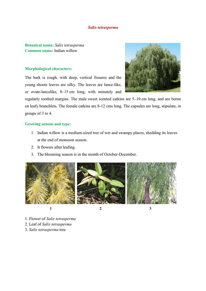 Salix tetrasperma Botanical name: Salix tetrasperma Common name