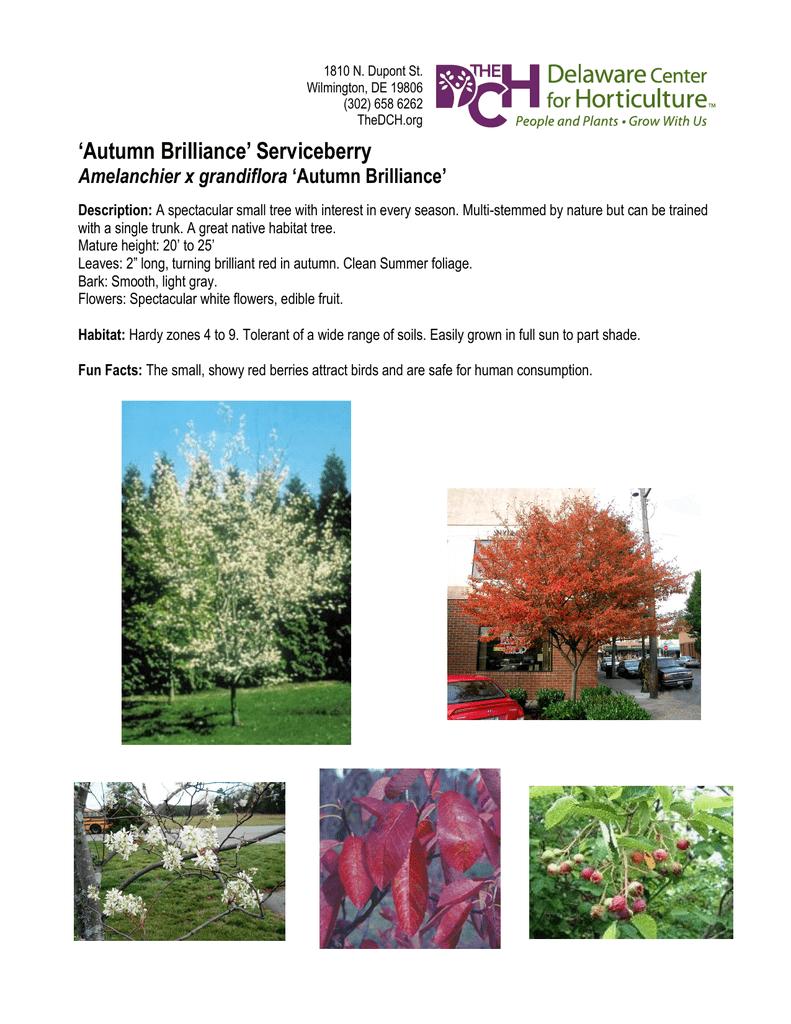 Autumn Brilliance` Serviceberry