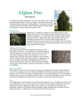 Afghan Pine - Fourth Grade Foresters USA