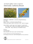 Deerweed, California Broom - California Native Plant Society
