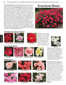 Knockout Roses - The Perennial Farm