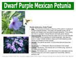 Ruellia brittoniana `Katie Purple` • Use: The blooms are borne on the