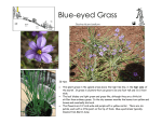 Blue-eyed Grass - Andy`s Web Tools
