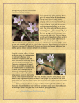 Spring Beauty (Claytonia caroliniana) Description by Julie Forkner If