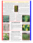 DALMATIAN TOADFLAX: Options for control