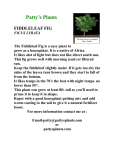 Fiddleleaf Fig - Patty`s Plants