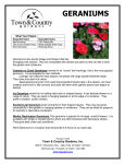 Geraniums - Town and Country Gardens