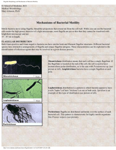 Flagellar Morphology and Mechanisms of Bacterial Motility