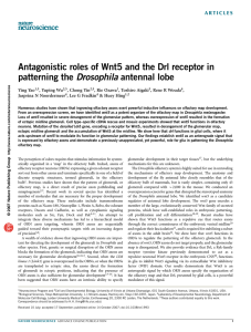 Antagonistic roles of Wnt5 and the Drl receptor in patterning the