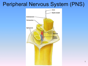 Peripheral Nervous System (PNS) 1