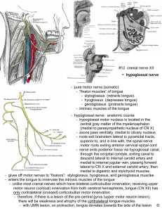 "- pure motor nerve (somatic) - ""fixator muscles"" of tongue"