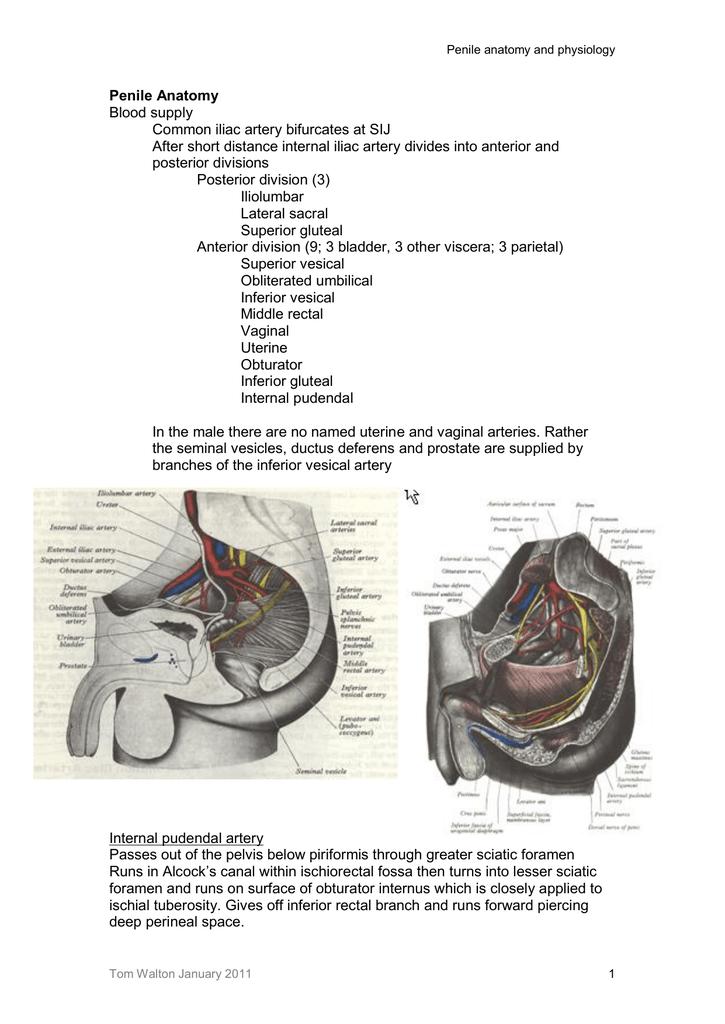 Penile Anatomy Blood Supply Common Iliac Artery Bifurcates