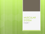 MUSCULAR SYSTEM - Simon Land