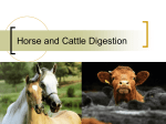 Horse and Cattle Digestion