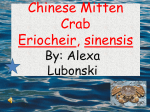 Chinese Mitten Crab the good one
